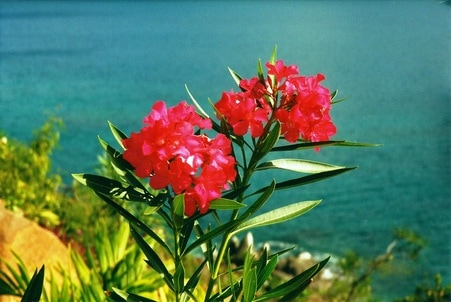 Oleander flowers at Picara Pearl Magens Bay